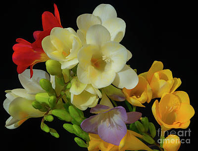 Photograph - Freesias Softened 8 by Glenn Franco Simmons