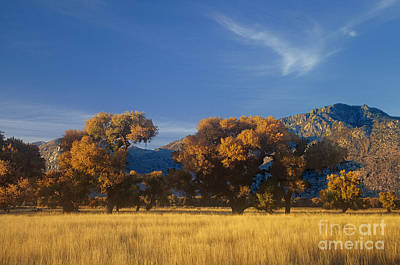 Photograph - Fremont Cottonwoods Poulus Fremontii In Fall Color California by Dave Welling