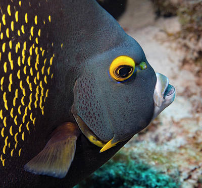 Photograph - French Angel Fish Closeup by Jean Noren