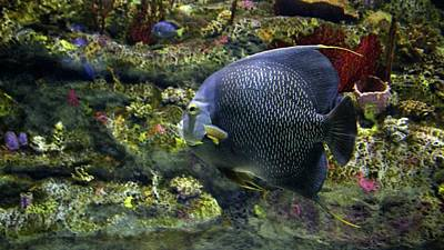 Photograph - French Angelfish by Cynthia Guinn