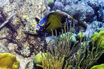 Photograph - French Angelfish by Perla Copernik