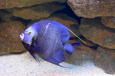 Photograph - French Angelfish by Richard Bryce and Family