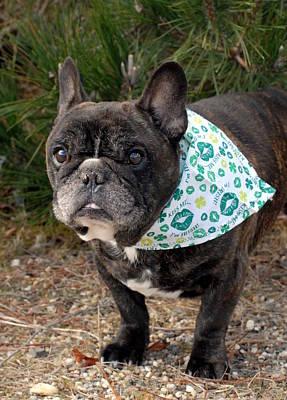 Adorable French Bulldog Puppy Photograph - French Bulldog 96 by Joyce StJames