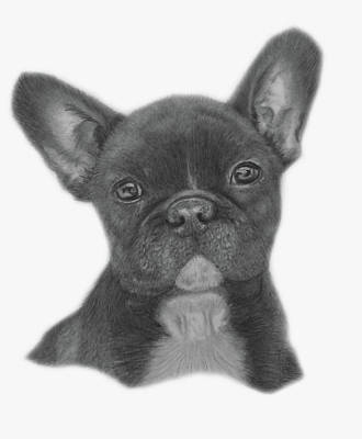 Drawing - French Bulldog by Claire Fagan