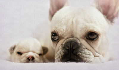 Of Dogs Photograph - French Bulldog by Copyright © Kerrie Tatarka