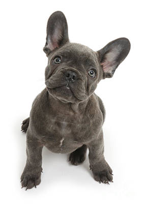 Cute French Bulldog Photograph - French Bulldog Puppy by Mark Taylor