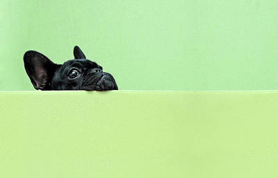 Colored Background Photograph - French Bulldog Puppy by Retales Botijero