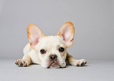 Bulldog Photograph - French Bulldog by Square Dog Photography