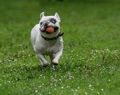 Adorable French Bulldog Puppy Photograph - French Bulldog With Ball Playing On Green Grass by Julian Popov