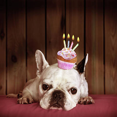One Dog Photograph - French Bulldog With Birthday Cupcake by Retales Botijero