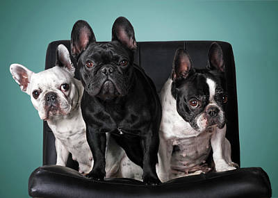 Colored Background Photograph - French Bulldogs by Retales Botijero