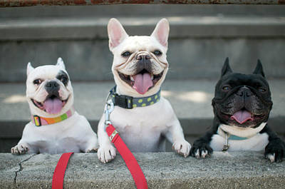 Panting Photograph - French Bulldogs by Tokoro