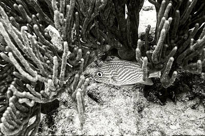 Photograph - French Grunt Under Corals by Perla Copernik