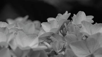 Photograph - French Hydrangea by Petrus Bester