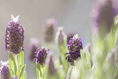 Photograph - French Lavendar Buds by Mary Angelini