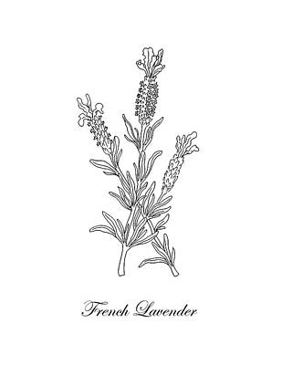 Florals Drawings - French Lavender Botanical Drawing Black And White by Irina Sztukowski