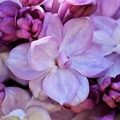 French Lilac Flower Art Print by Rona Black
