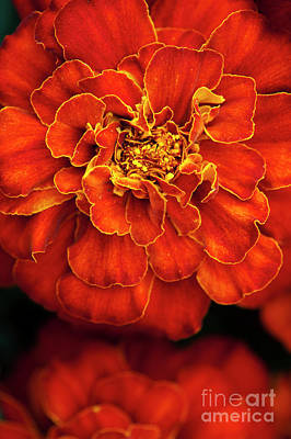 Photograph - French Marigold Durango Red by Tim Gainey