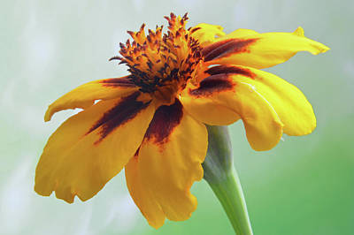 Photograph - French Marigold by Terence Davis