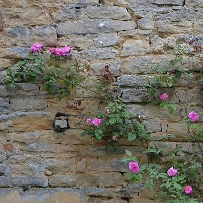Photograph - French Pink Roses On Vine by Cheryl Miller