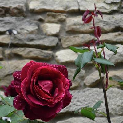 Photograph - French Red Rose by Cheryl Miller