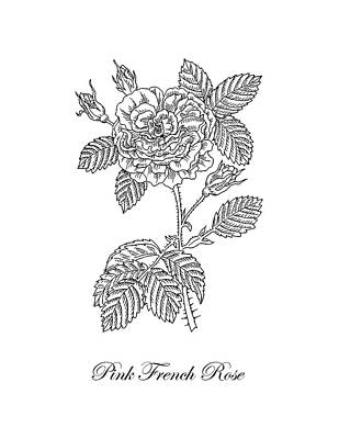 Florals Drawings - French Rose Botanical Drawing Black And White by Irina Sztukowski
