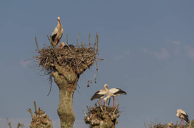 Photograph - French Storks 01 by Teresa Mucha