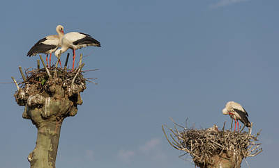 Photograph - French Storks 02 by Teresa Mucha