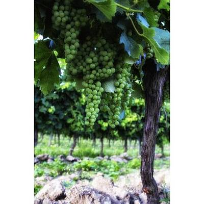 Food And Beverage Photograph - French Vineyard by Georgia Fowler