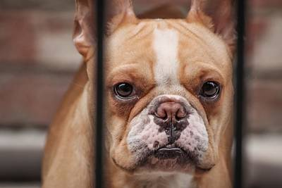 Adorable French Bulldog Puppy Photograph - Frenchie Behind Bars by Ross Stewart