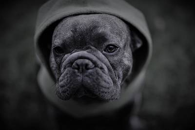 French Bull Dog Wall Art - Photograph - Frenchie In Black And White by Brian Redgrave
