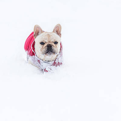 Frenchie In The Snow Art Print