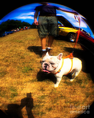 Cute French Bulldog Photograph - Frenchy At The Car Show  by Steven Digman