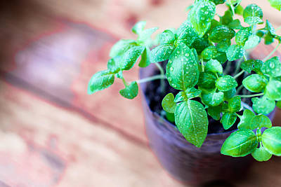 Photograph - Fresh Basil Plant On Rustic Wood by John Williams