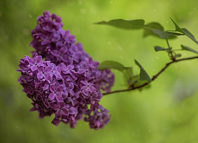 Photograph - Fresh Branch Of Lilac Flower by Jaroslaw Blaminsky