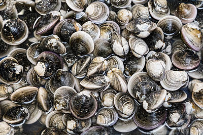 Photograph - Fresh Clams by James BO Insogna