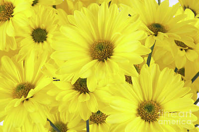 Photograph - Fresh Cut Yellow Daisy Flowers by Vizual Studio