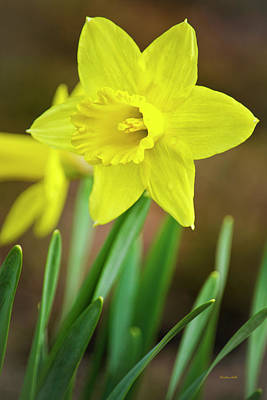 Rollos Photograph - Fresh Daffodil Flower by Christina Rollo