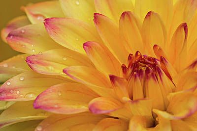 Photograph - Fresh Dahlia by Mary Jo Allen