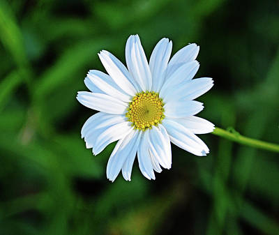 Photograph - Fresh Daisy by Linda Brown