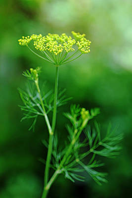 Photograph - Fresh Dill by Debbie Oppermann