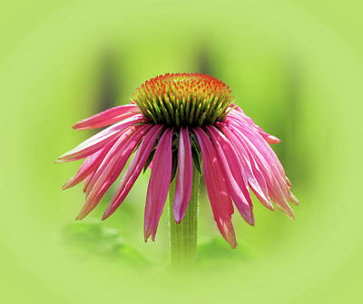 Photograph - Fresh Echinacea Flower - Green Vignette by MTBobbins Photography