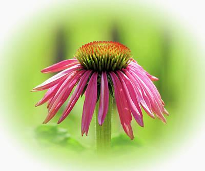 Photograph - Fresh Echinacea Flower - Vignette by MTBobbins Photography
