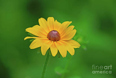 Photograph - Fresh-eyed-susan by Robin Clifton