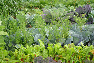 Photograph - Fresh Garden Greens by Living Color Photography Lorraine Lynch