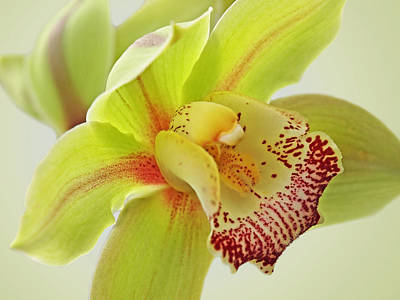Photograph - Fresh Green Cymbidium Orchid by Gill Billington
