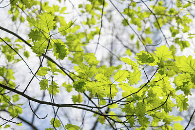 Photograph - Fresh Green Filigree Of Spring - Oak Leaves And Branches by Georgia Mizuleva