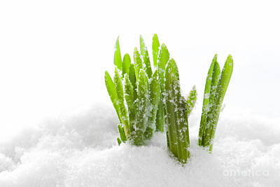 Horizontal Photograph - Fresh Green Grass Growing Form Snow by Michal Bednarek