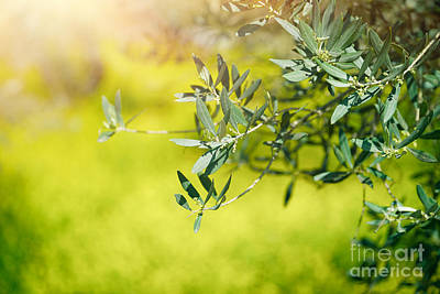 Photograph - Fresh Green Olive Tree Branches by Anna Om