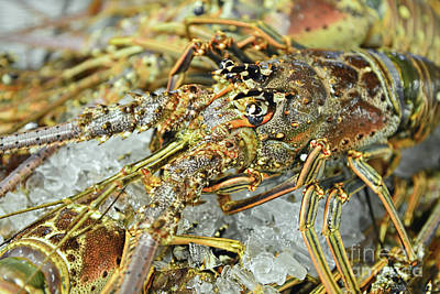 Photograph - Fresh Lobster by Olga Hamilton